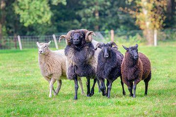 Groep schapen op een rij loopt in wei van Ben Schonewille