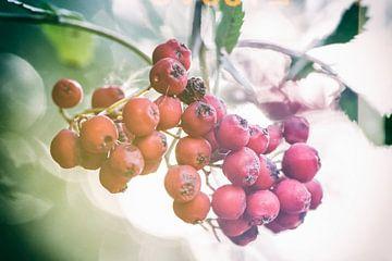 Herbstaufnahme von roten Beeren im Gegenlicht van Dirk Bartschat