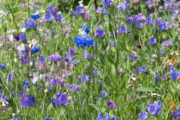 Bloemenveld met paarse en blauwe korenbloem en de phacelia van J..M de Jong-Jansen