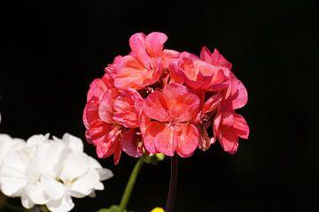 Roze bloemen van Manongraphy