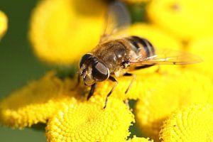 Zweefvlieg op bloem van