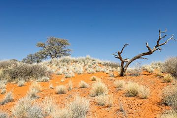 Baum in der Kalahari von Britta Kärcher