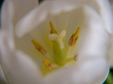 binnenste van een tulp van Evelien Brouwer