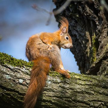 Eichhörnchen auf dem Ast von Tobias Luxberg