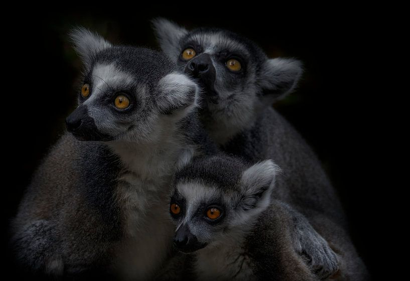 Ringstaartmaki familie von Ron Meijer Photo-Art