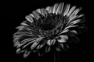Nature morte de gerbera en noir et blanc