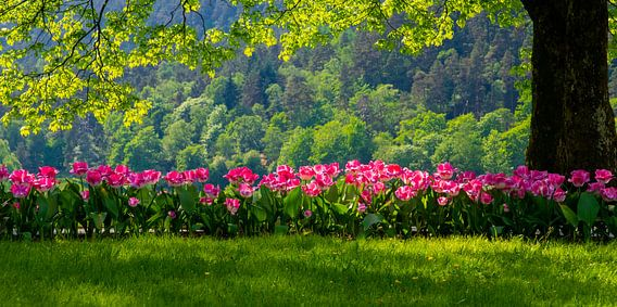 Roze tulpen in het groen