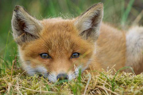 Jeune renard sur Rando Kromkamp