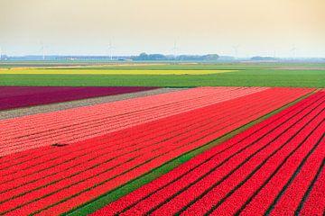 Tulpenvelden in de flevopolder van