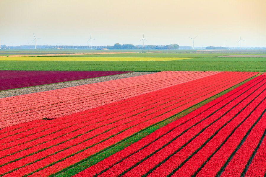 Tulpenvelden in de flevopolder van Dennis van de Water