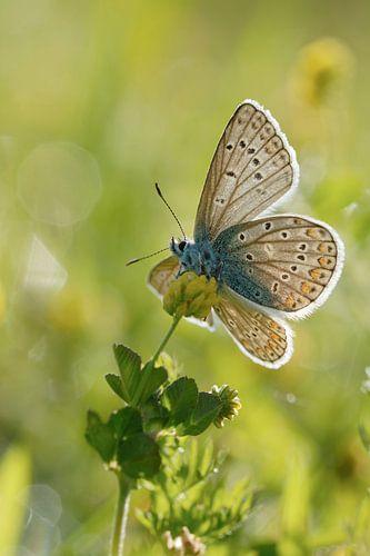 spring... Common Blue *Polyommatus icarus* van wunderbare Erde