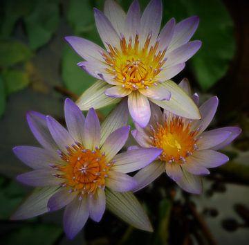 Lila lotusbloemen uit Bali van