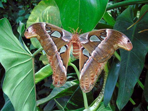 Atlasvlinder (Attacus atlas) Tropische vlinders, Collectie 2018 van