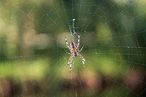 Spin in zijn web van thomas van der Wijngaard