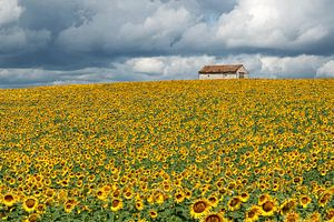 Veld met zonnebloemen van