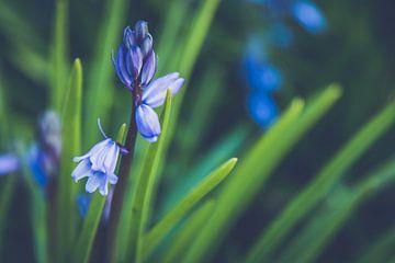 Close-up van een Boshyacint van ElkeS Fotografie