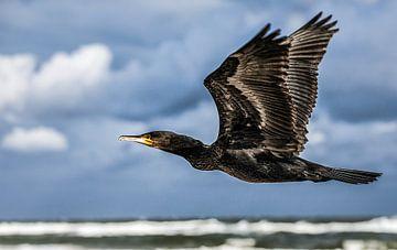 Vliegende aalschover bij het Oerd op Ameland