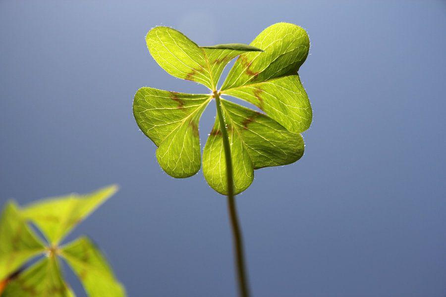 The Four Leaf Clover