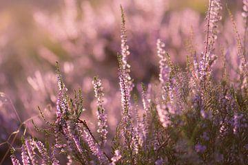 blühende Heide von Tania Perneel