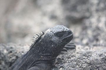 Galapagos Zeeleguaan von René Boeff