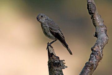 Grauwe Vliegenvanger von Ronald Jansen