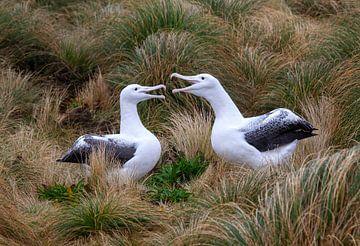 Albatroses royaux du Sud (Diomedea epomophora) sur Beschermingswerk voor aan uw muur