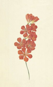 Tritonia Crocata (Flammenfreesie) von Hendrik Schwegman, um 1780