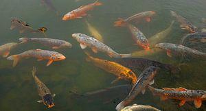 'Koi fish', Kyoto- Japan van