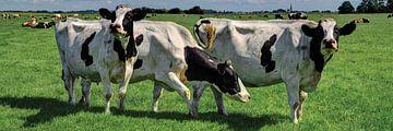 Vache Rijnsaterwoude en trois positions sur Hendrik-Jan Kornelis