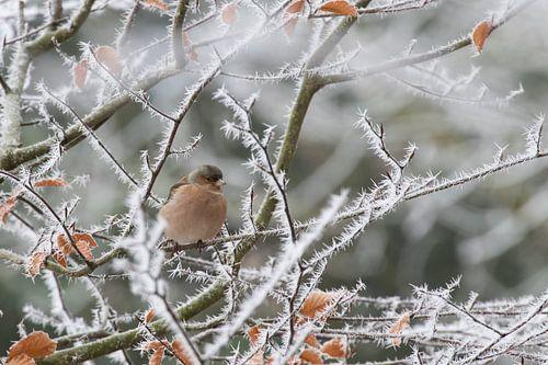 Vinkje in winters landschap van