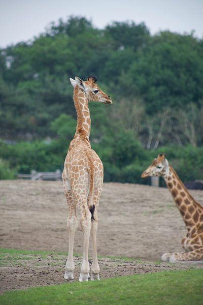 Lækker baby giraf van marijke servaes op canvas, behang en meer LH-71
