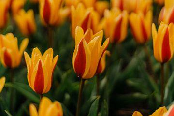 Tulpe von Myrthe Vlasveld