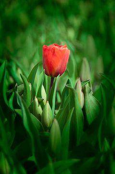 Rode Tulp von Alex Hiemstra
