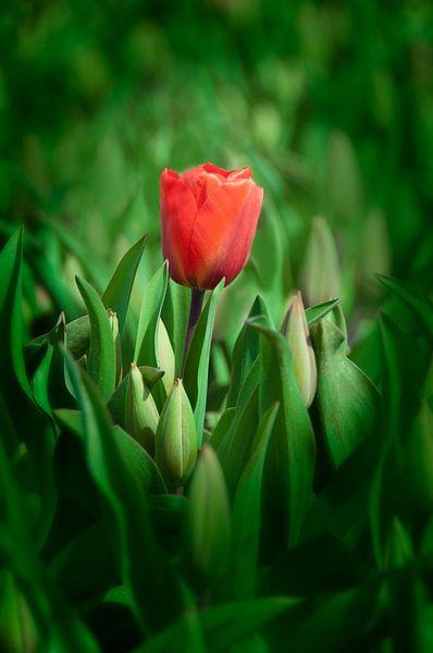 Rode Tulp van Alex Hiemstra