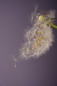Gebläseblume von simone swart