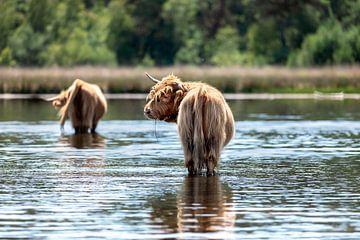 Schotse Hooglanders in het water van gea strucks