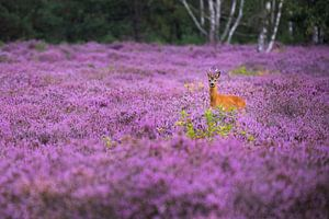 Roebuck in bloeiende heide