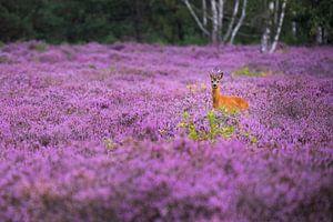 Roebuck dans les landes fleuries