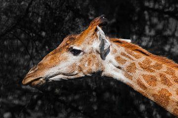 Kopf einer Giraffe auf einem Hintergrund dunkel niedlichen Tier von Michael Semenov