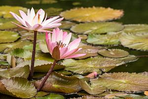 Water lily on a lagoon van