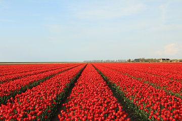 Tulpen aus Friesland von Pim van der Horst
