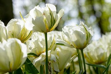 Die Tulpe - Weiß von Marly De Kok
