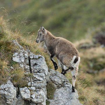 Steinbock ( Capra ibex ), Jungtier, klettert hoch auf einen Felsen in den Alpen, wildlife, Europa. von wunderbare Erde