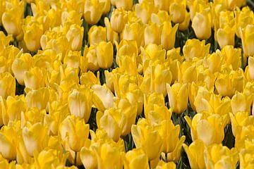 Gele tulpen van