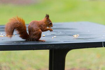 l'écureuil roux recherche de la nourriture en automne pour l'hiver