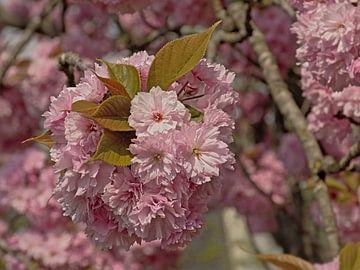 Blüten eines japanischen Kirschbaums von Kristof Lauwers