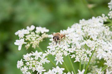 Insekten--Biene auf Blume-01 von Katja Goede