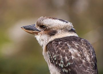 Kookaburra sur Alied Kreijkes-van De Belt