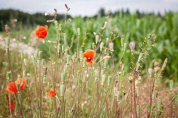 Blühende Mohnblumen von Els Broers