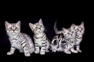 Gruppe junge schwarze silberne Tabby Katzen lokalisiert auf schwarzem Hintergrund von Ben Schonewille